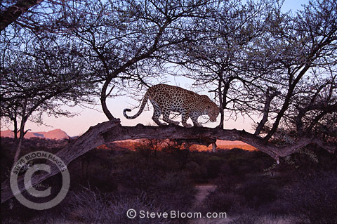 African leopard at dawn, Namibia.
