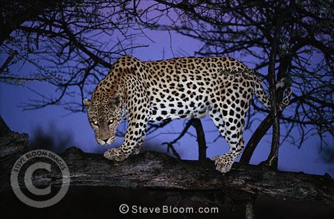 African leopard at night, Namibia.