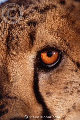 Eye of a Cheetah