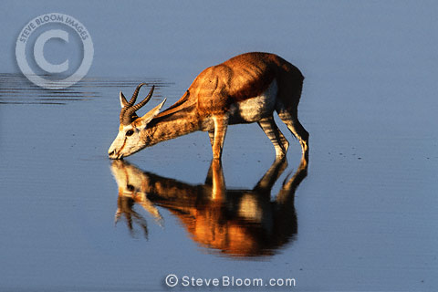 Adult male springbok drinking, Etosha National Park, Namibia