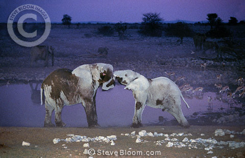 Young African elephants playing at night, Etosha National Park, Namibia