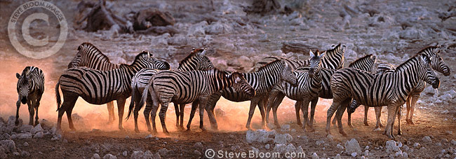 Zebras at sunset, Etosha National Park, Namibia
