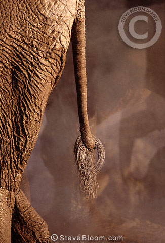 African elephant's tail