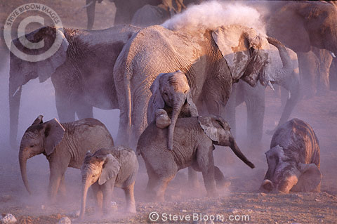 Group of African elephants dust-bathing, Etosha National Park, Namibia