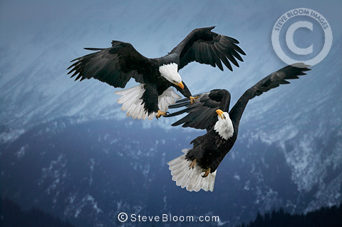 Bald Eagles fighting in mid-air, Alaska