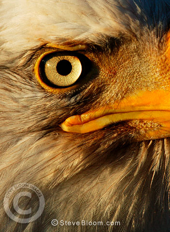 Bald Eagle close-up, Alaska