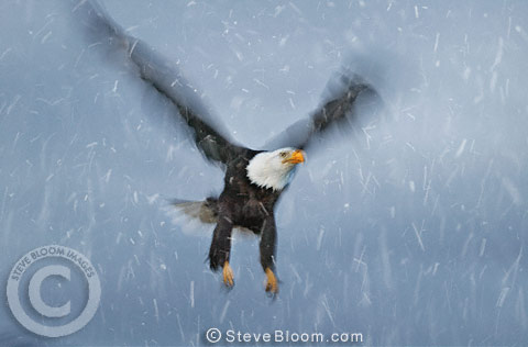 Bald Eagle in the snow, Alaska