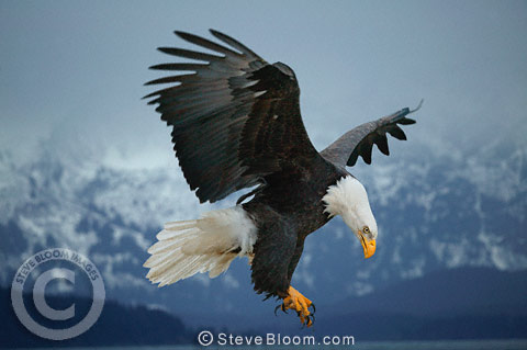 Bald eagle coming in to land, Alaska