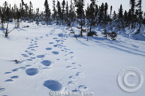Polar bear footprints in the snow, Manitoba, Canada