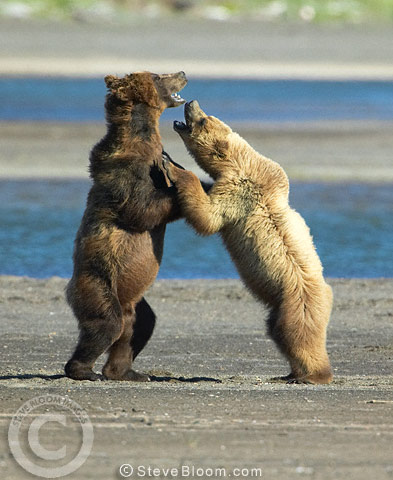 Young brown bears play-fighting, Katmai National Park, Alaska.