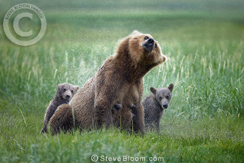 Brown bear mother and cubs in the rain, Katmai National Park, Alaska.