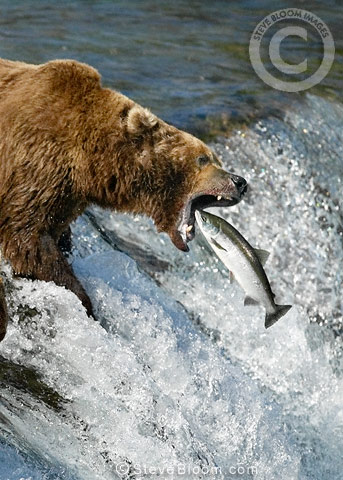Brown Bears catching sockeye salmon, Brooks Falls, Katmai National Park, Alaska