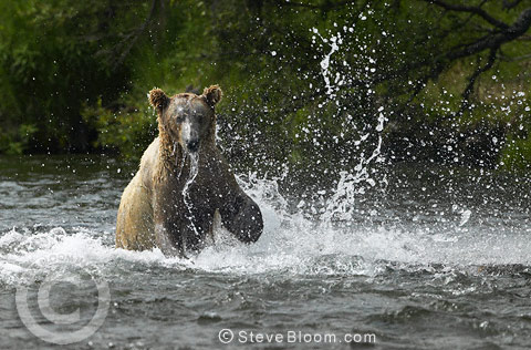Salmon escaping being caught by Brown Bear, Brooks Falls, Alaska