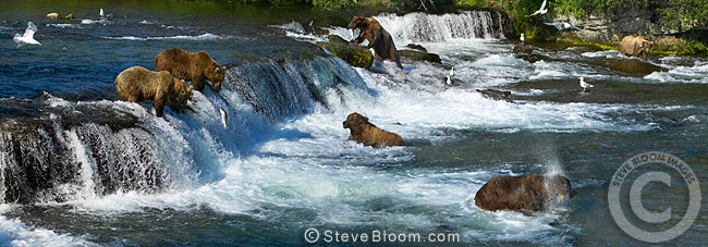 Group of Brown Bears fishing, Brooks Falls, Katmai National Park, Alaska
