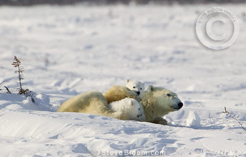 Polar Bear mother with young cubs resting, Manitoba,  Canada.