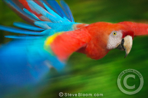Wild Scarlet Macaw in flight, Tambopata River, Peru