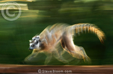 Running Ring-tailed Lemur, Berenty, Madagascar