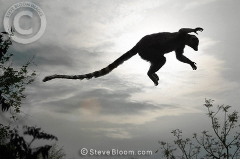 Lemur leaping through the forest at dusk, Berenty, Madagascar