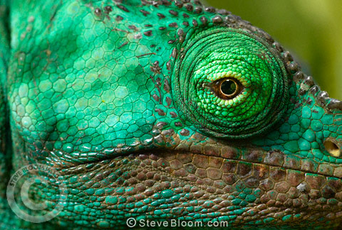 Head of a Parson's chameleon, Perinet, Madagascar
