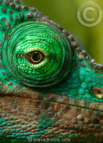 Close-up of the eye of a Parson's chameleon, Perinet, Madagascar