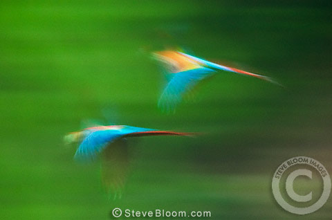 Scarlet  macaws in flight, Tambopata River, Peru
