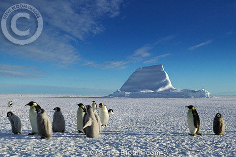 Emperor penguins and their young, Cape Washington, Antarctica
