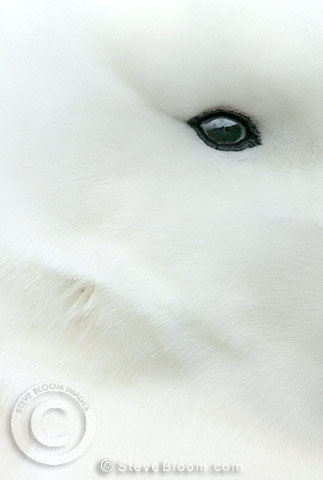 Close up of an eye of the Royal Albatross, Campbell Island, Antarctica