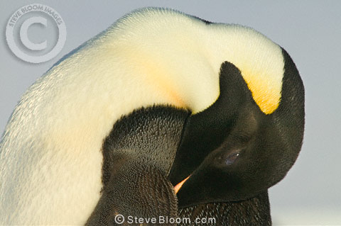An adult Emperor penguin asleep, Cape Washington, Antarctica