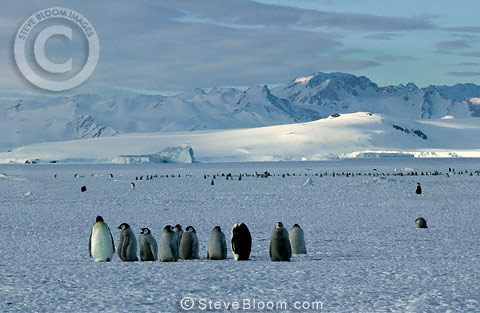 Emperor penguins, Cape Washington, Antarctica