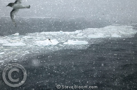 Antarctic Petrels flying in a blizzard, Antarctica