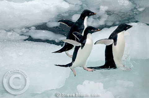 Three Adelie Penguins jumping into the water, Paulet Island, Antarctica