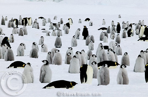 Young Emperor penguins waiting for food, Coulman Island, Antarctica