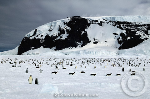 Emperor penguins returning to the colony, Coulman Island, Antarctica