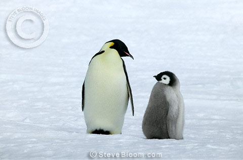 Emperor penguin and chick, Coulman Island, Antarctica