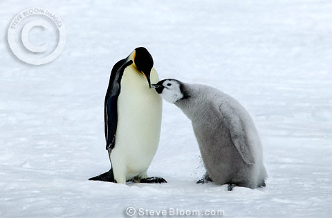 Emperor penguin feeding it's young, Coulman Island, Antarctica