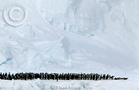 Emperor Penguins marching and one Adelie Penguin, Coulman Island, Antarctica