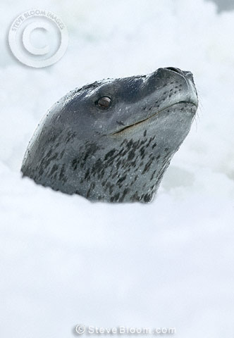 Leopard Seal emerging through slushy ice, Coulman Island, Antarctica