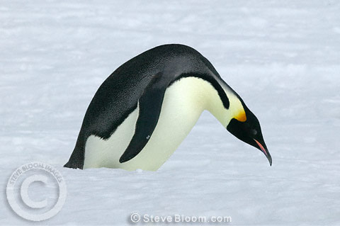 Emperor penguin about to tobogan, Coulman Island, Antarctica