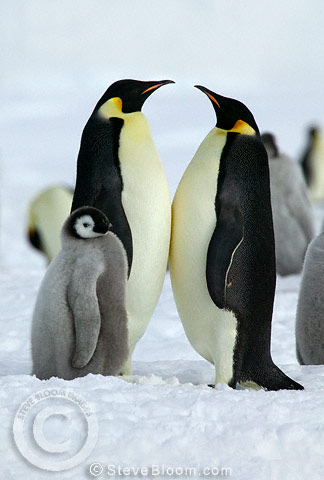 Adult pair of Emperor penguins and chick, Coulman, Island, Antarctica