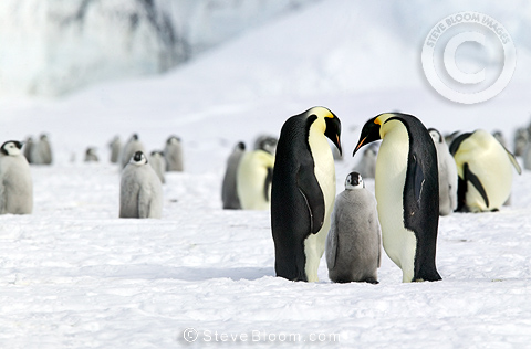 Return of young Emperor Penguin's parents, Coulman Island, Antarctica