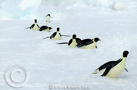 Adult Emperor penguins tobogganing across the snow, followed by an Adelie penguin, Coulman Island, Antarctica