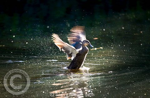 Pacific Black Duck splashing at Warrawong Earth Sanctuary, Australia.