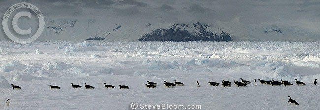 Emperor penguins on their way back to the colony, Coulman Island, Antarctica