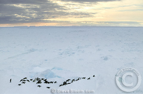 Emperor penguins on their way back to the colony, Coulman Island, Antarctica.