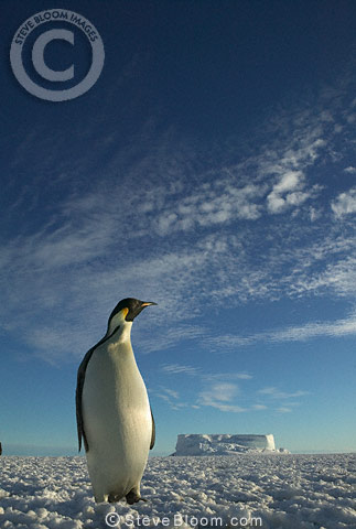 Emperor penguin, Cape Washington,  Antarctica.