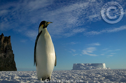 Emperor penguin, Cape Washington,  Antarctica