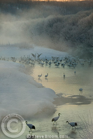 Japanese (red-crowned) Cranes on the island of Hokkaido, Japan.