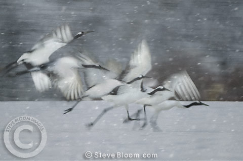 Japanese (red-crowned) Cranes taking flight, Hokkaido Island, Japan.