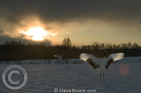 Japanese (red-crowned) Cranes at sunset, Hokkaido Island, Japan.