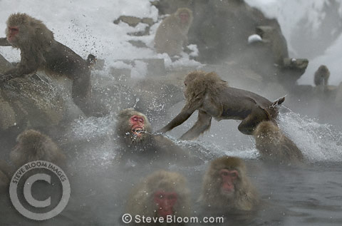 Snow monkey (Japanese macaque) jumping into the hot springs, Jigokudani National Park, Japan
